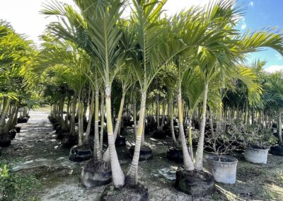 Air rooted double Christmas Palm 10'