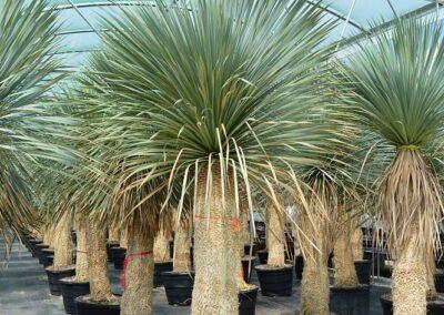 Beaked Yucca 25 g