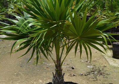 Florida thatch palm 30G