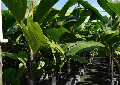 Stilt Palm 15 Shade