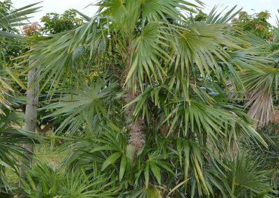 Zombi Palm 95 g