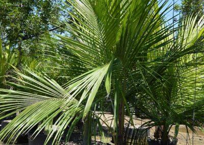 15g 6' high platue coconut palm