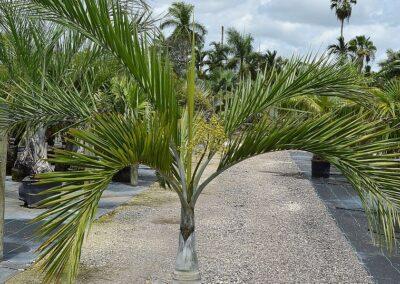 Buccaneer palm 15g 3-4'