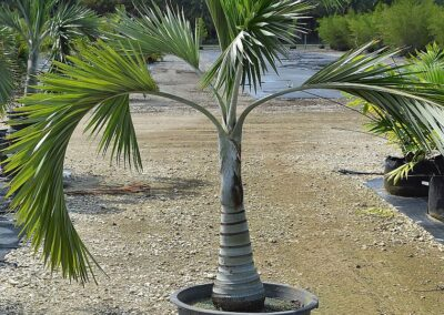 Buccaneer palm 20g 5'
