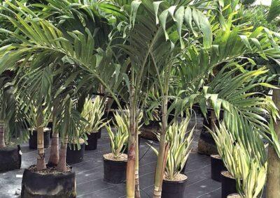 Christmas Palm 15g