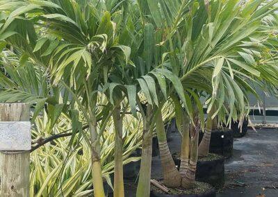 Christmas Palm 30g