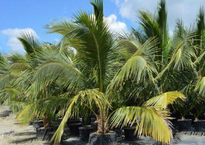 Green Malayan', Coconut Palm 45g