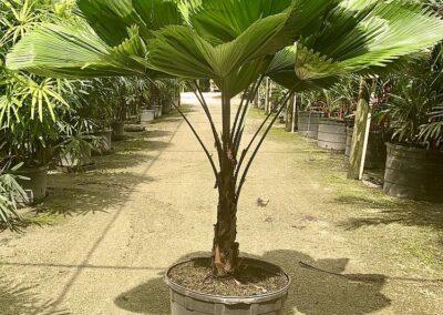 Licuala Palm 25 g