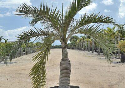 buccaneer palm 45g 7'