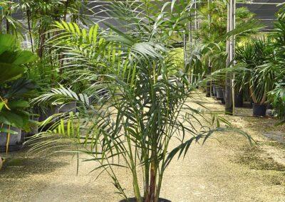 maya palm 7g 5'