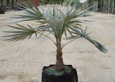 silver thatch palm 15 g 3-4'
